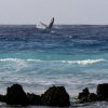 In Barbados, Tourists Aren't the Only Ones Having a Whale of a Good Time