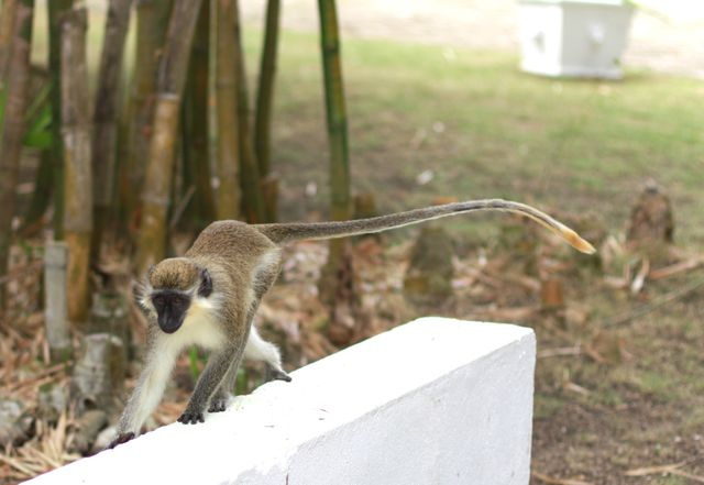 "A monkey I met when I was at a Sandy Lane home last week. (Do Sandy Lane monkeys think they're ""better"" than other monkeys, I wonder?)"