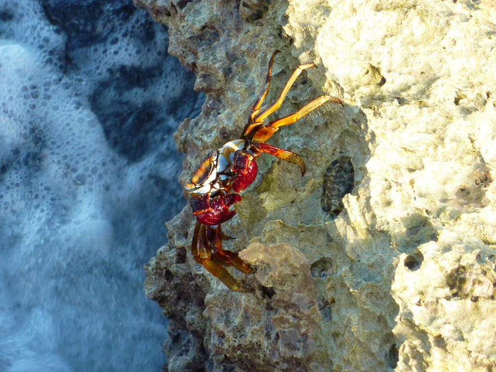 A Barbados crab on a coral rock at the end of our private jetty.