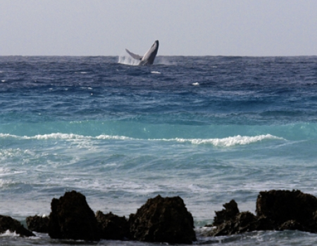 Whales in Barbados